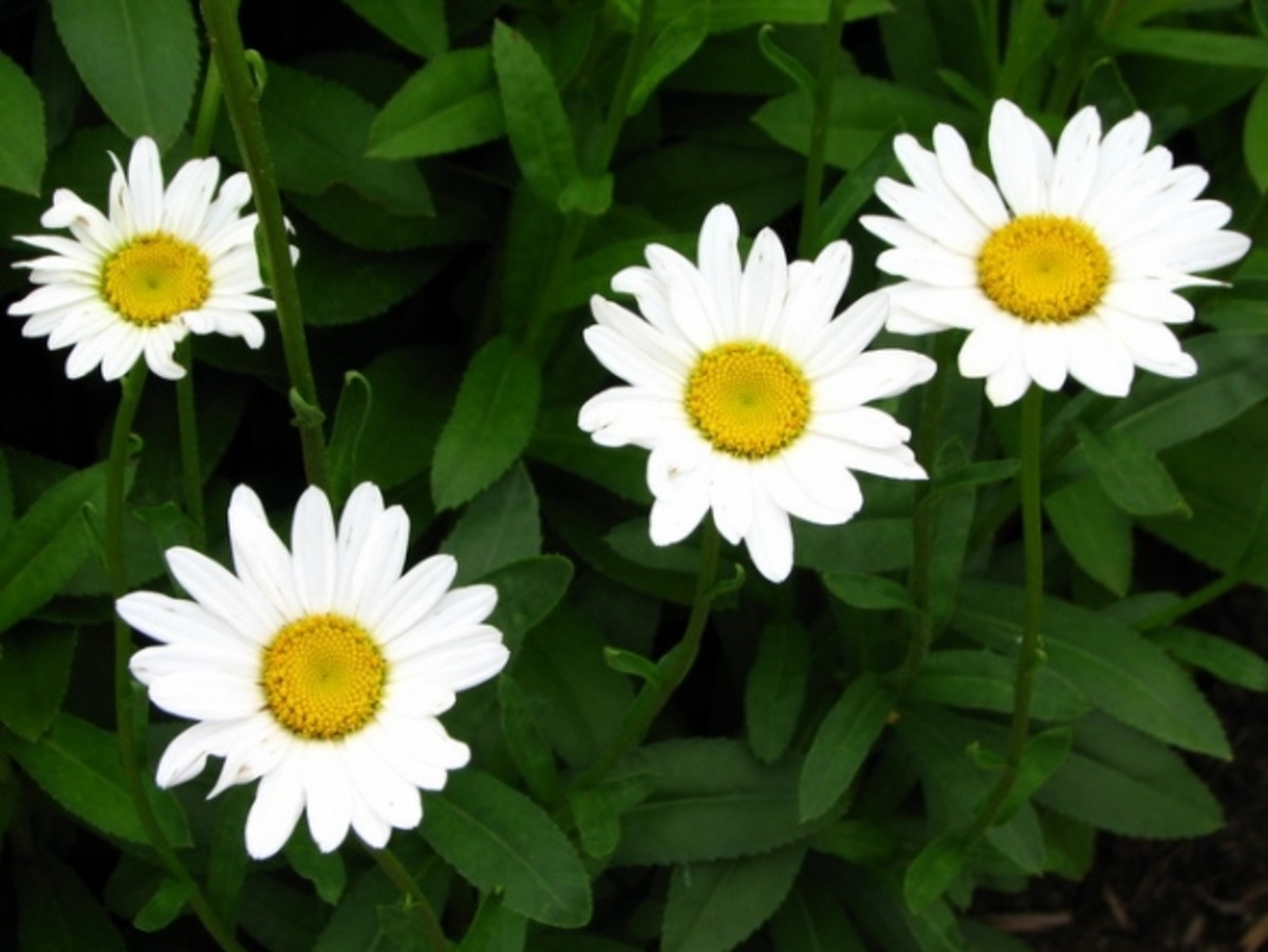 Shasta daisies (Leucanthemum x superbum), also members of the Aster plant family, are often thought of as mainstays of the summer perennial garden and grow well in plant hardiness zones 5 to 9.  They are not native to N.A., but have a fascinating his