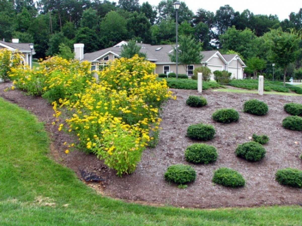 Section #1 at the extreme left facing the slope garden; contains oxeye sunflowers and Soft Touch hollies.