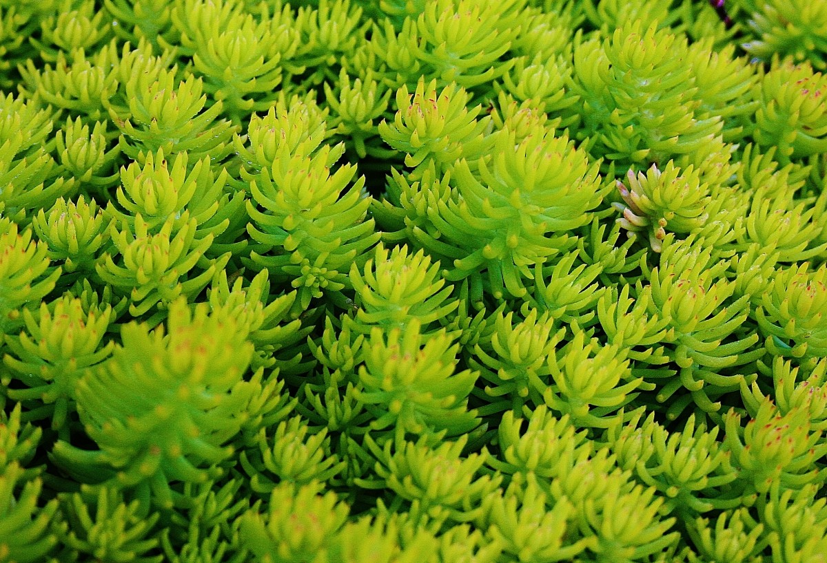 Chartreuse Sedum rupestre 'Angelina' is particularly vivid in the spring.