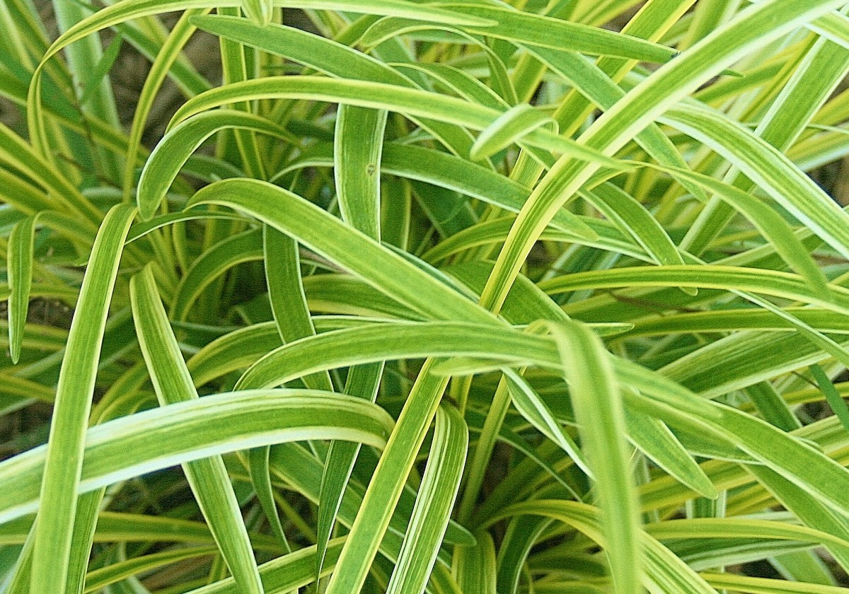 eye-popping-chartreuse-perennial-plants
