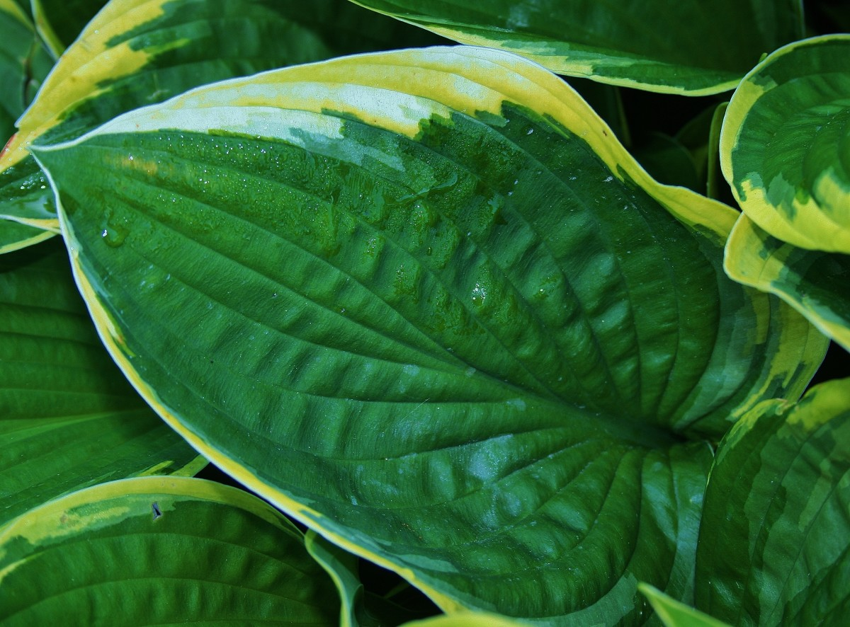 This hosta's leaves are rimmed in lime green. Like all herbaceous perennials, hosta die down in winter and come back up in spring.
