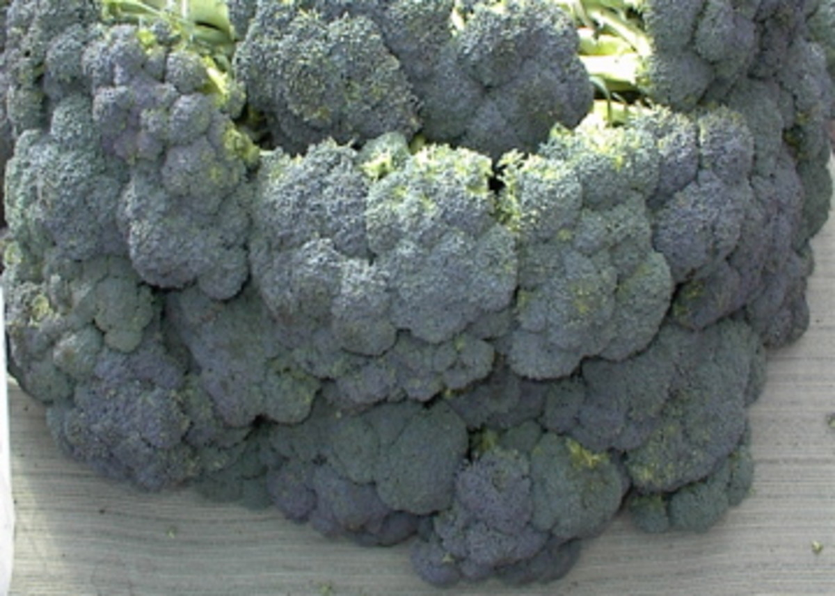 Broccoli is very tasty and nutritious.