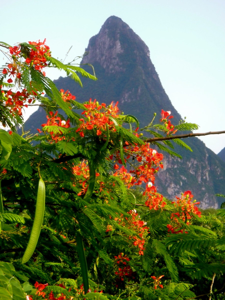 Flowering Flame Tree, or red Jacaranda, beside the Floraison balcony at l'Anse Chastanet, screens  Petit Piton. Tropical flowers, vines and trees abound in St. Lucia along the path to the volcanic hotsprings near Soufriere.