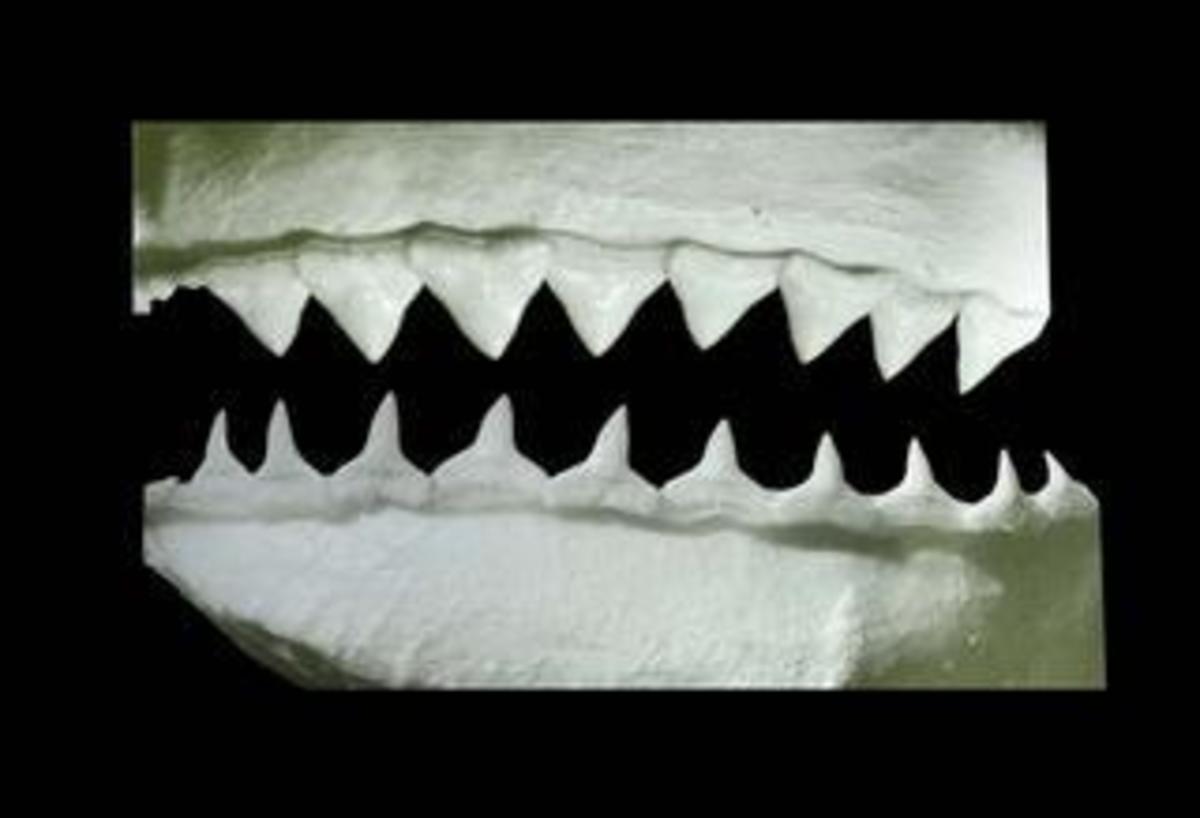 Carcharhinus longimanus teeth