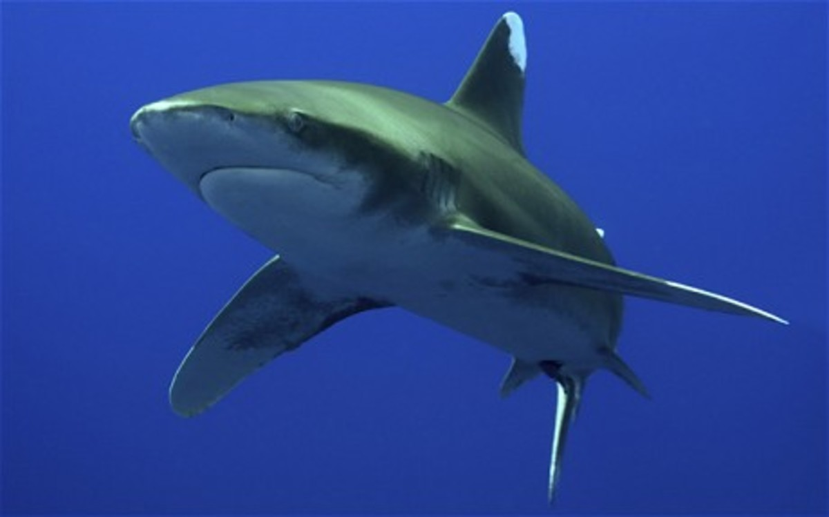 Oceanic Whitetip Sharks - the Sharks that have Eaten the Most People!