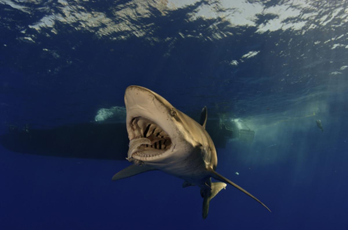 oceanic whitetip feeding