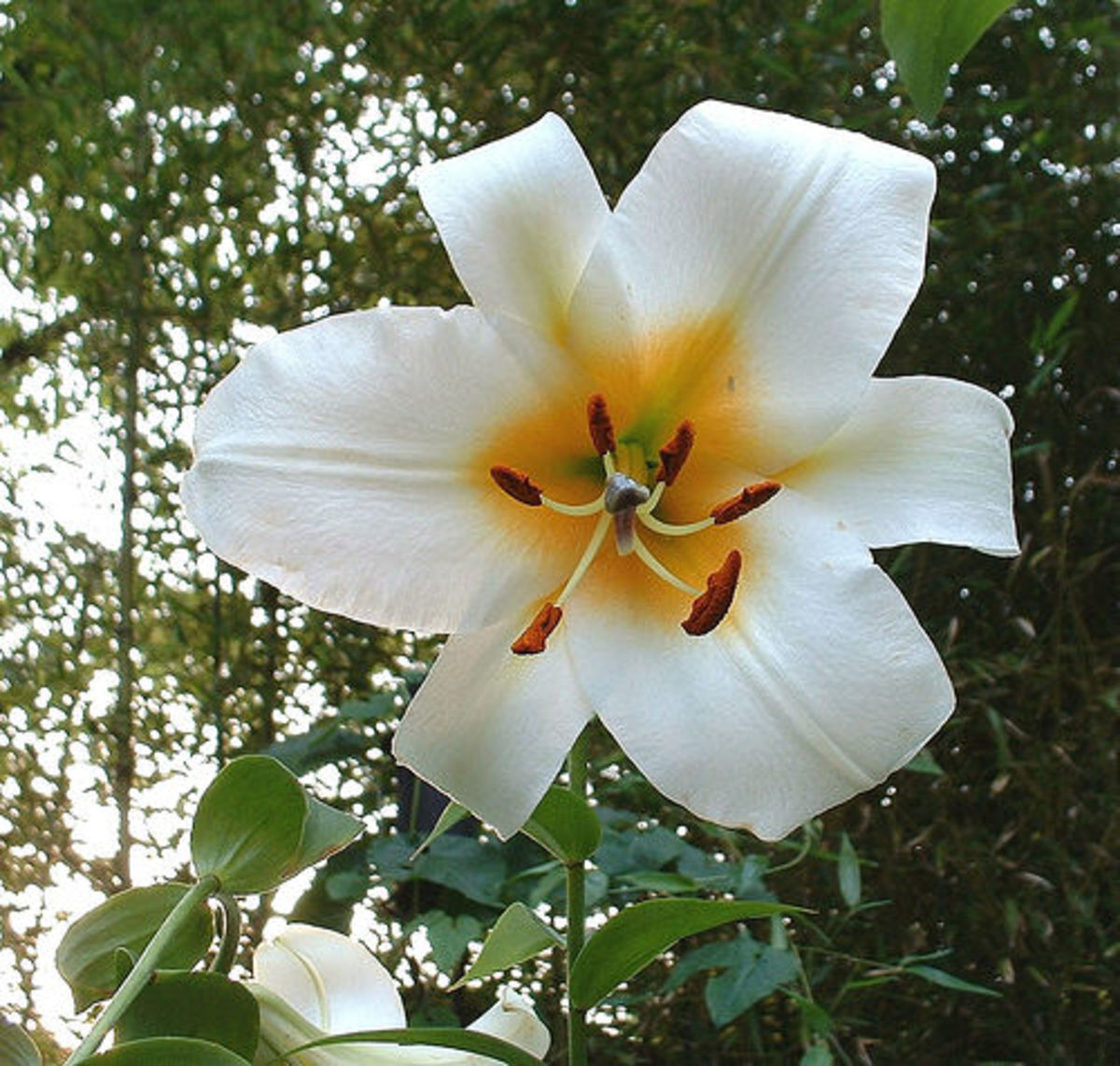 White Regale lily