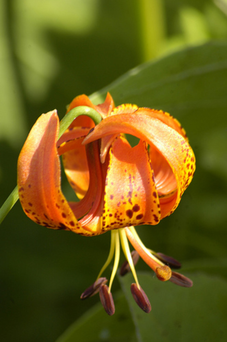 Pale orange Turk's cap lily