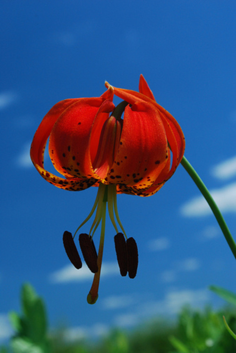 fiery red turk's cap lily