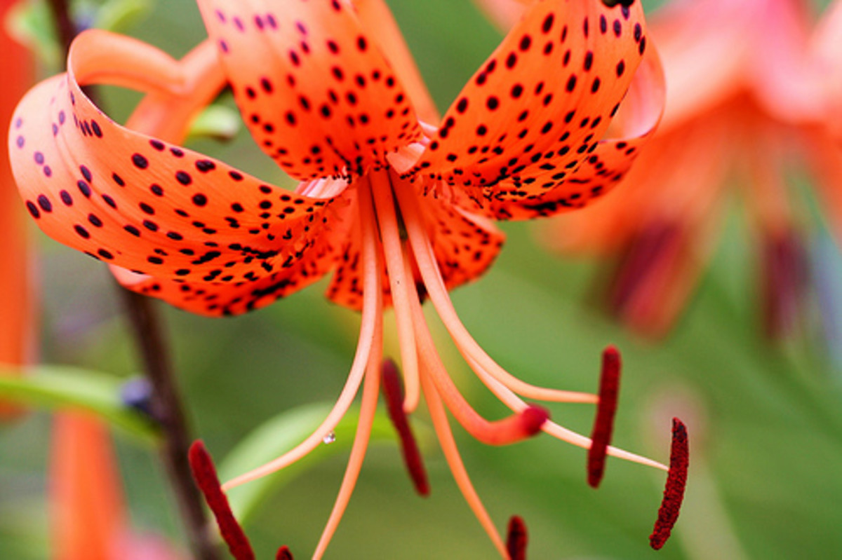 Fiery red Tiger lily