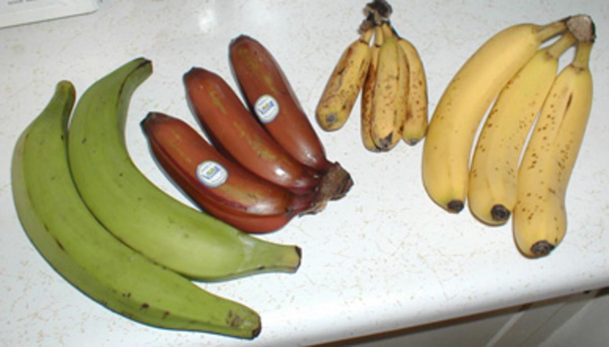 Difference between plantain and banana - from left to right: Plantain, Red Banana, Apple Banana, and Cavendish Banana. Image Credit: Timothy Pilgrim via Wikimedia Commons