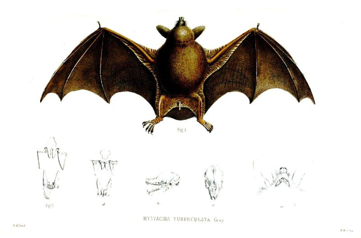 A drawing of the short-tailed bat.