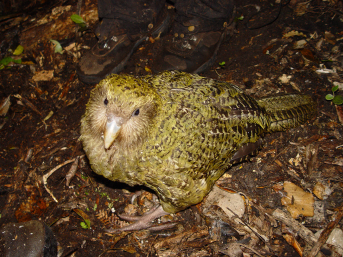 The Kakapo- a giant flightless parrot now extinct on the mainland, surviving only on Codfish Island.