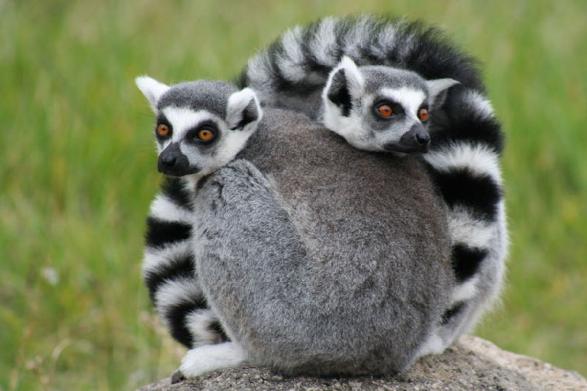 The ring tailed lemur is one of the most instantly recognisble of all the lemur family.