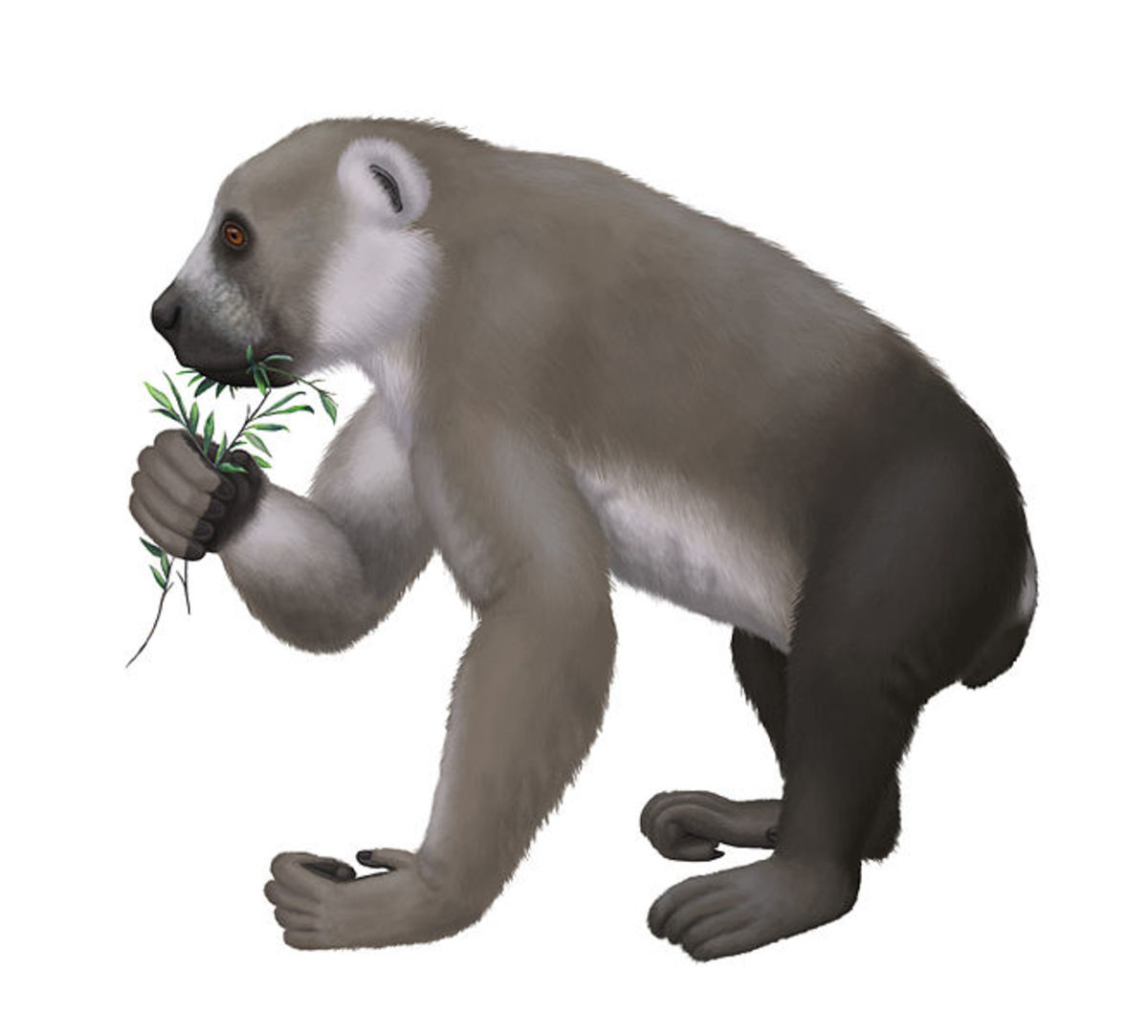 A reconstruction of Archaeoindris, sometimes called the gorilla lemur.