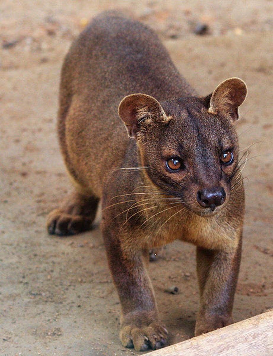 The fossa is a mongoose built like a cat with the face of a dog, and feet like an otter.
