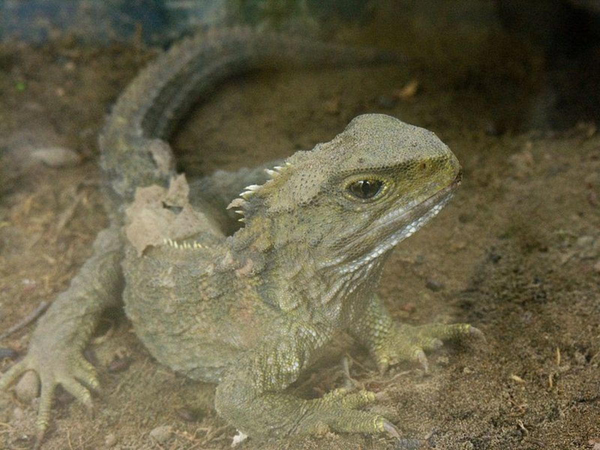 The tuatara looks like a lizard but is in fact a different kind of reptile altogether. It's barely changed over the last 200 million years ago.