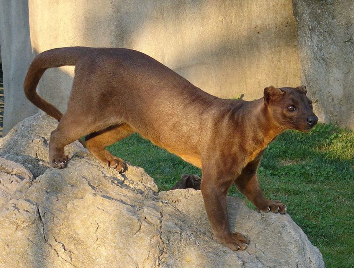 The fossa is known as a cathmeral animal, in other words it can be active both during the day and night.
