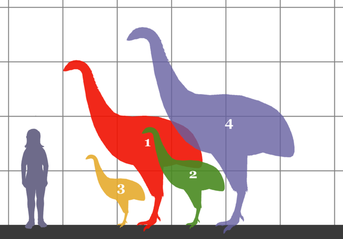 The four species of moa depicted in this picture range (3) Anomalopteryx didformis (4 feet tall), then (2) Emeus crassus (5 feet tall), then (1) Dinornis giganteus ( 10 feet tall) and finally (4) Dinornis novaezelandiae (12 feet tall)