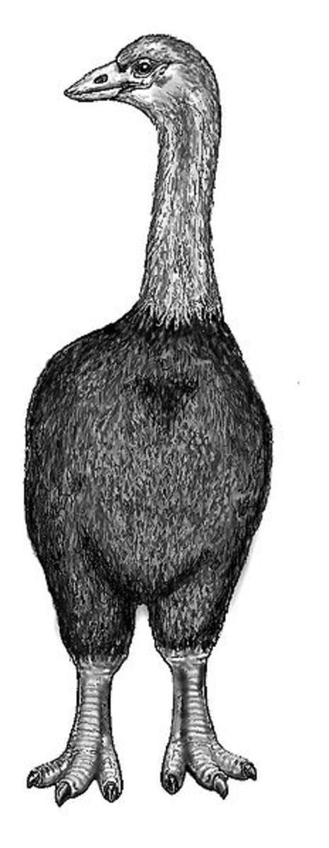 A reconstruction of Aepyornis the largest of the elephant bird species.