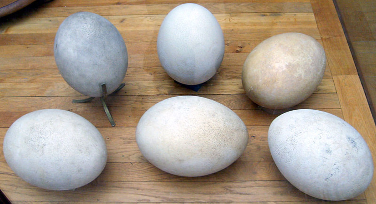 The elephant bird laid the largest eggs of any known animal, they were the size of basketballs.