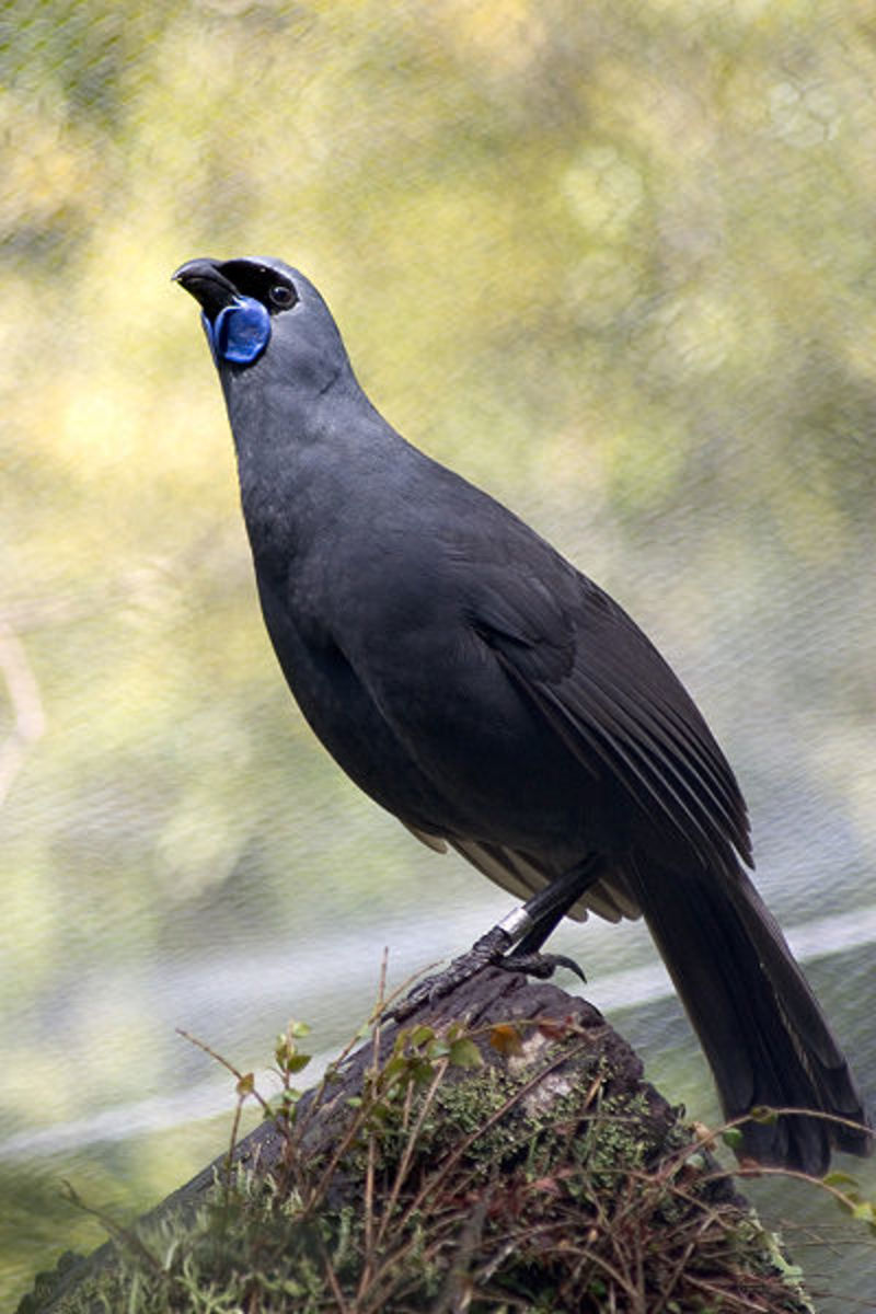 The Kokako belongs to the Callaeidae family which is totally endemic to New Zealand.