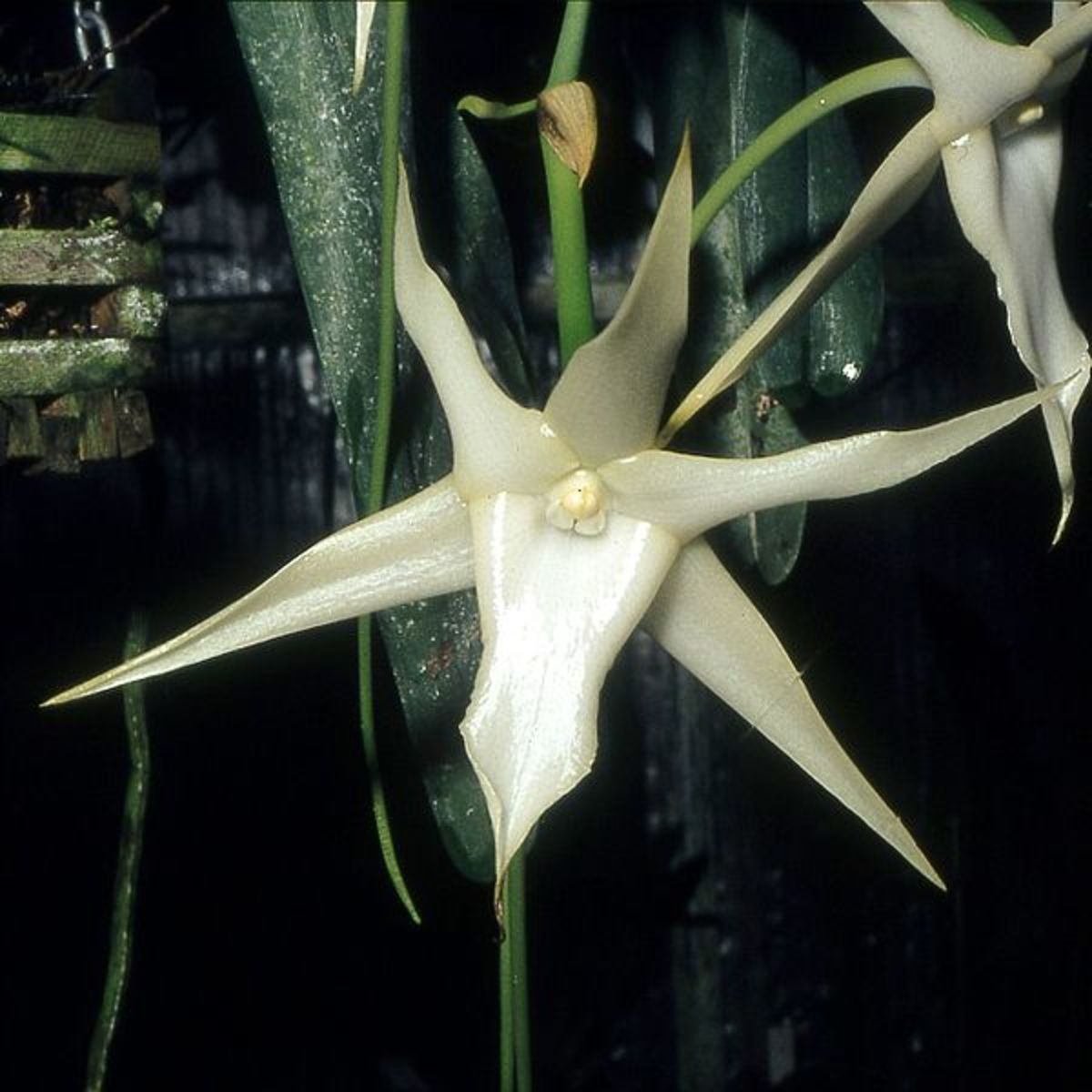The comet orchid has very long spurs that are pollinated by a hawk-moth with an equally long proboscis.