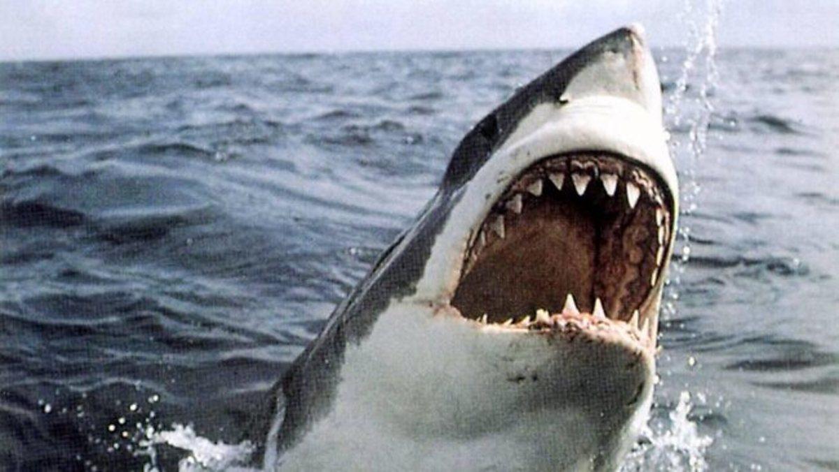 Great white or white pointer shark