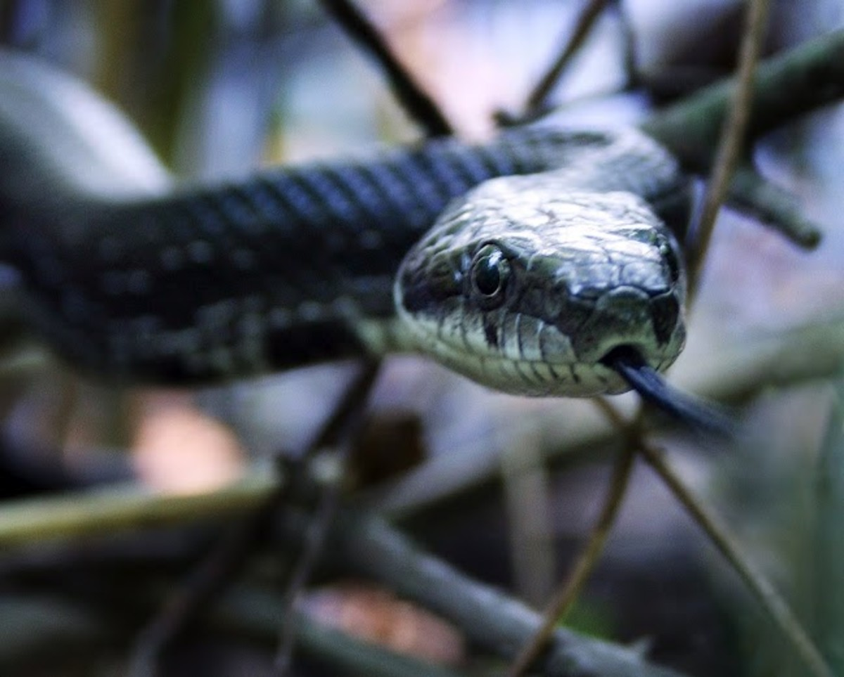 A Hillbilly Guide to Snakes: The Western Rat Snake