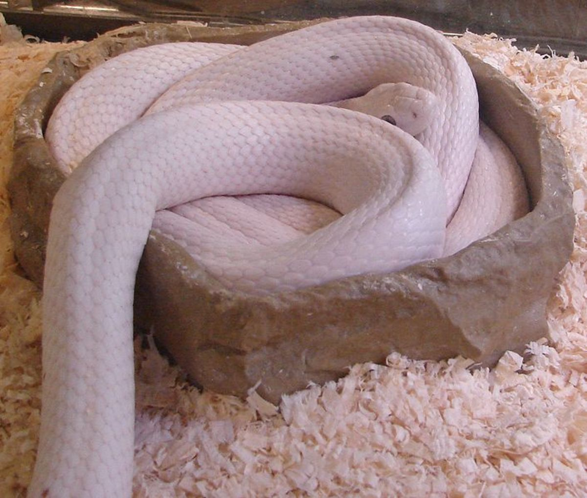 Albino western rat snake at the Reptile Zoo east of Monroe, Washington, Photo by  Jamidwyer, Public Domain.