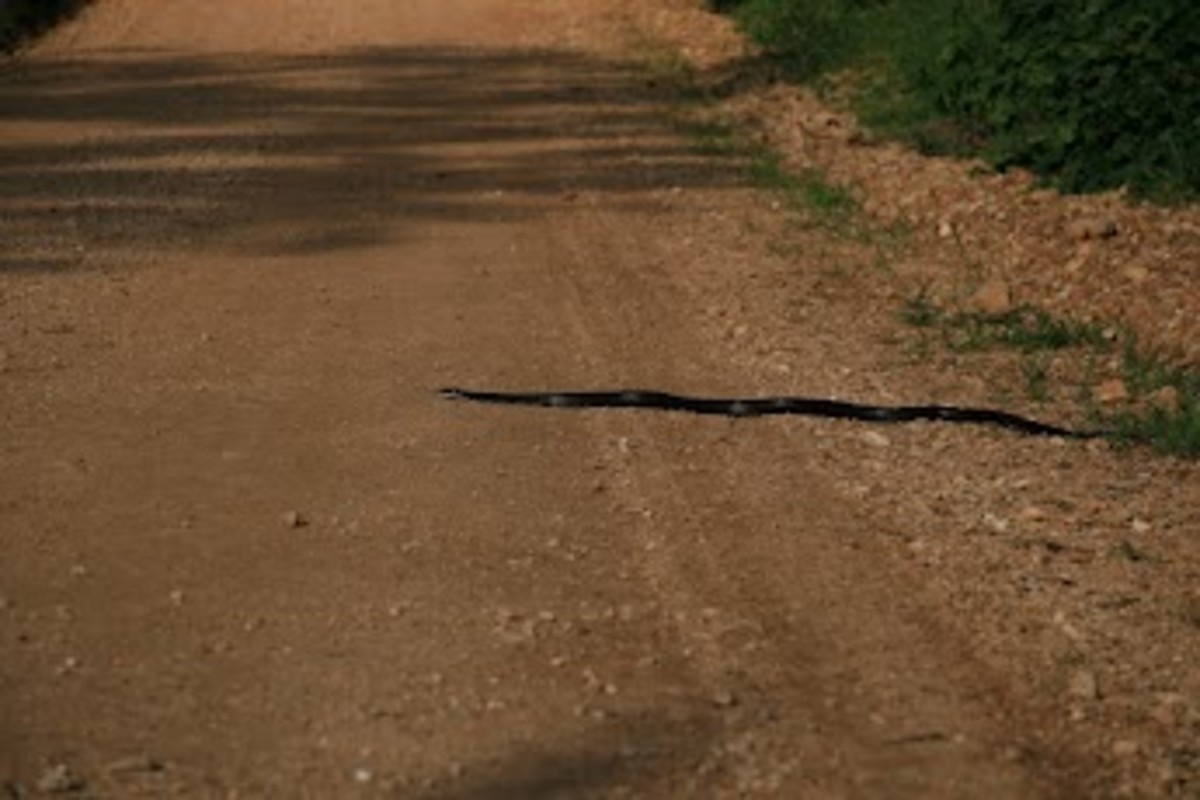 a-hillbilly-guide-to-snakes-the-western-rat-snake