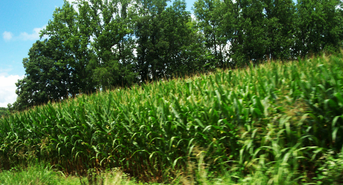 Corn fields. Look at all this valuable silk that goes to waste that could be doing so much good!