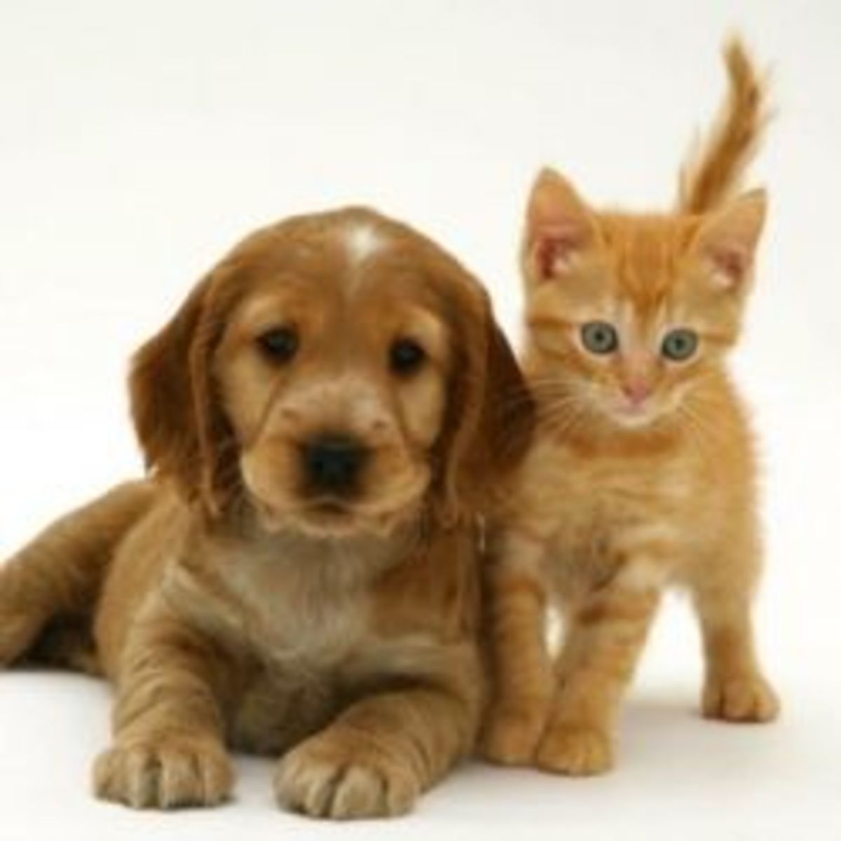 This cute photo of a Golden Cocker Spaniel Puppy with British Shorthair Red Tabby Kitten is by Jane Burton and is available at