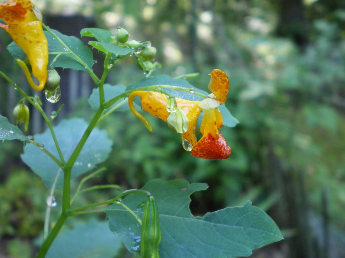 Jewelweed (Wild Impatiens)