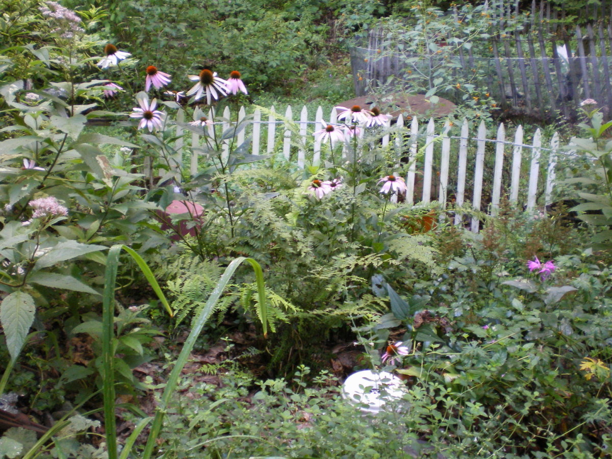 Densely planted Cottage Garden provides lots of food, nesting material and perching places for birds; as well as nectar for bees, butterflies and hummingbirds.