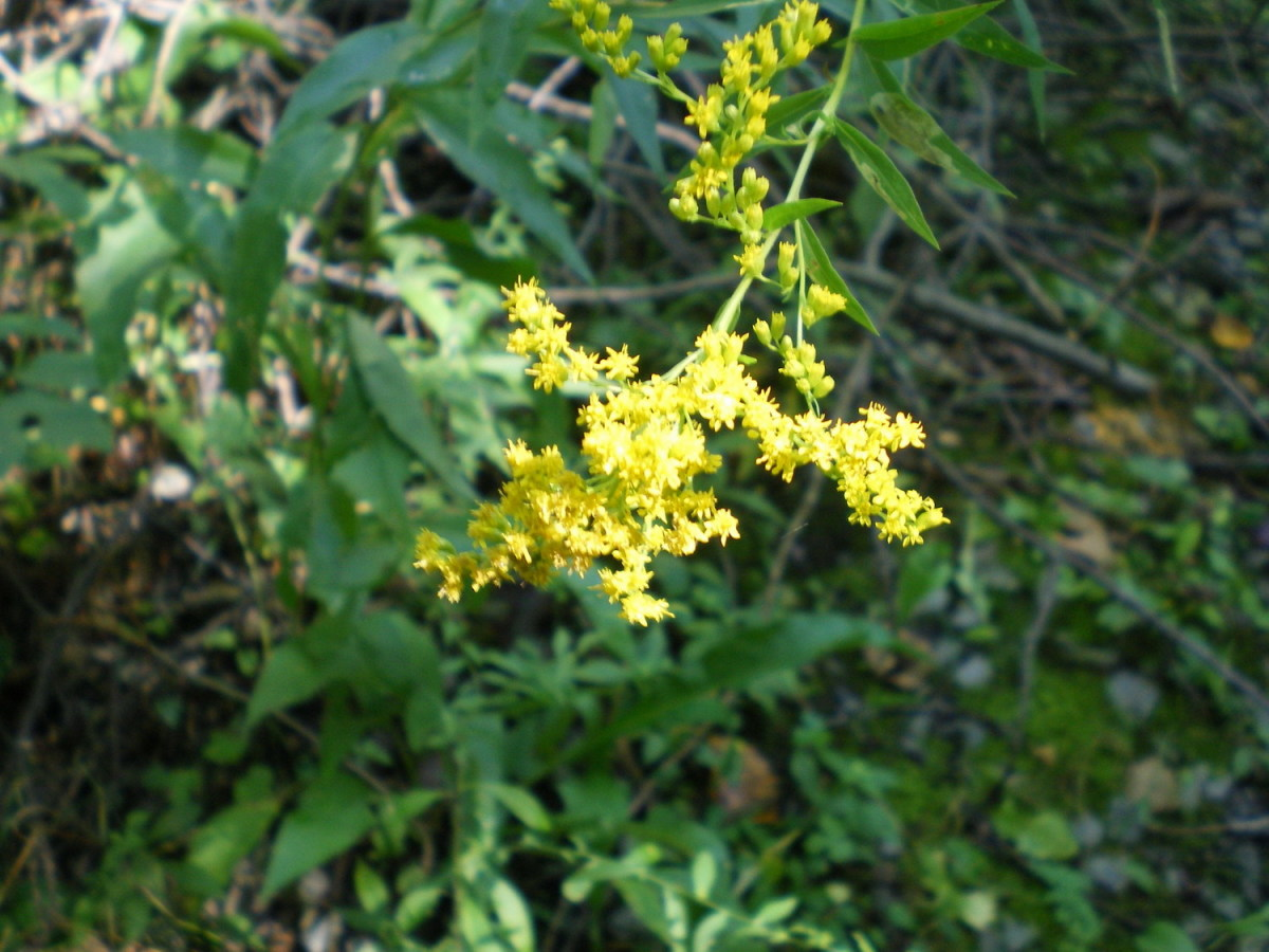 Goldenrod, which does NOT produce allergens like ragweeds do.