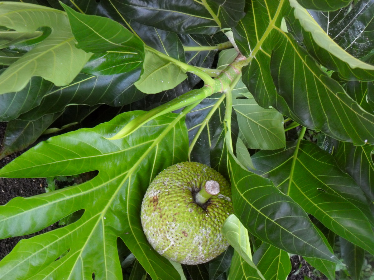 Breadfruit Nutritional Value