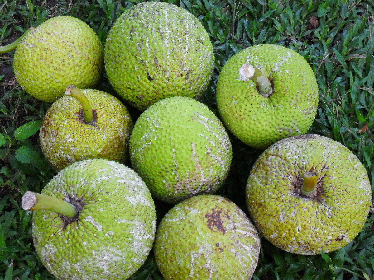 freshly picked breadfruits