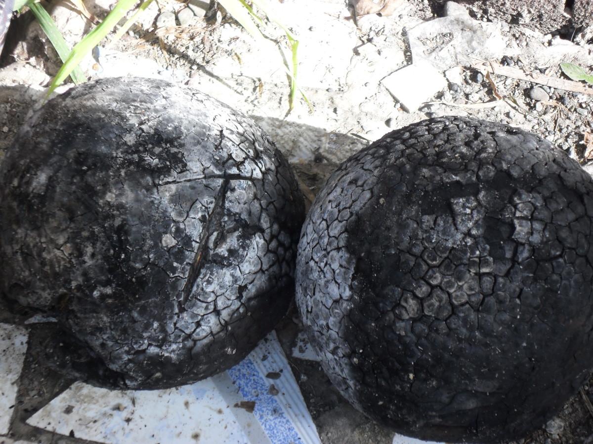 Roasted breadfruit unpeeled.