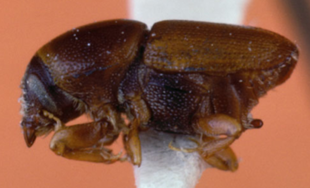 The Euopean elm bark beetle, Scolytus multistriatus, the vector of Dutch Elm Disease.