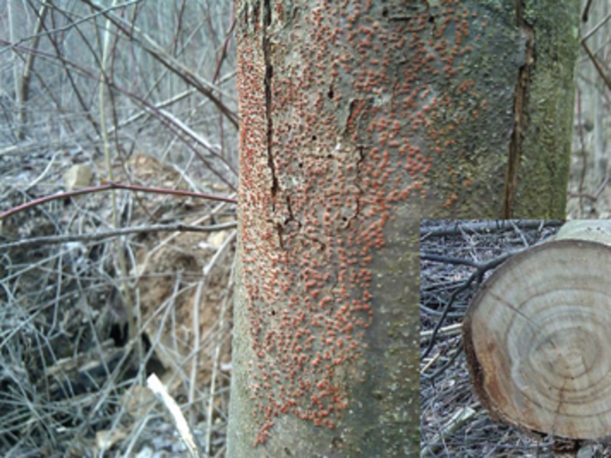 Chestnut blight cancer and tree trunk cross-section of the extent of fungal invasion.
