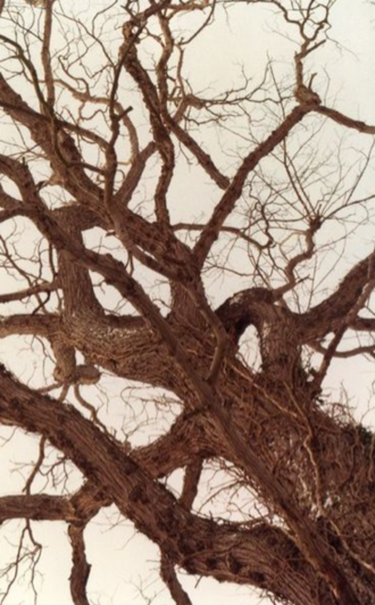 A dead elm tree infected with Dutch Elm Disease, 1985.