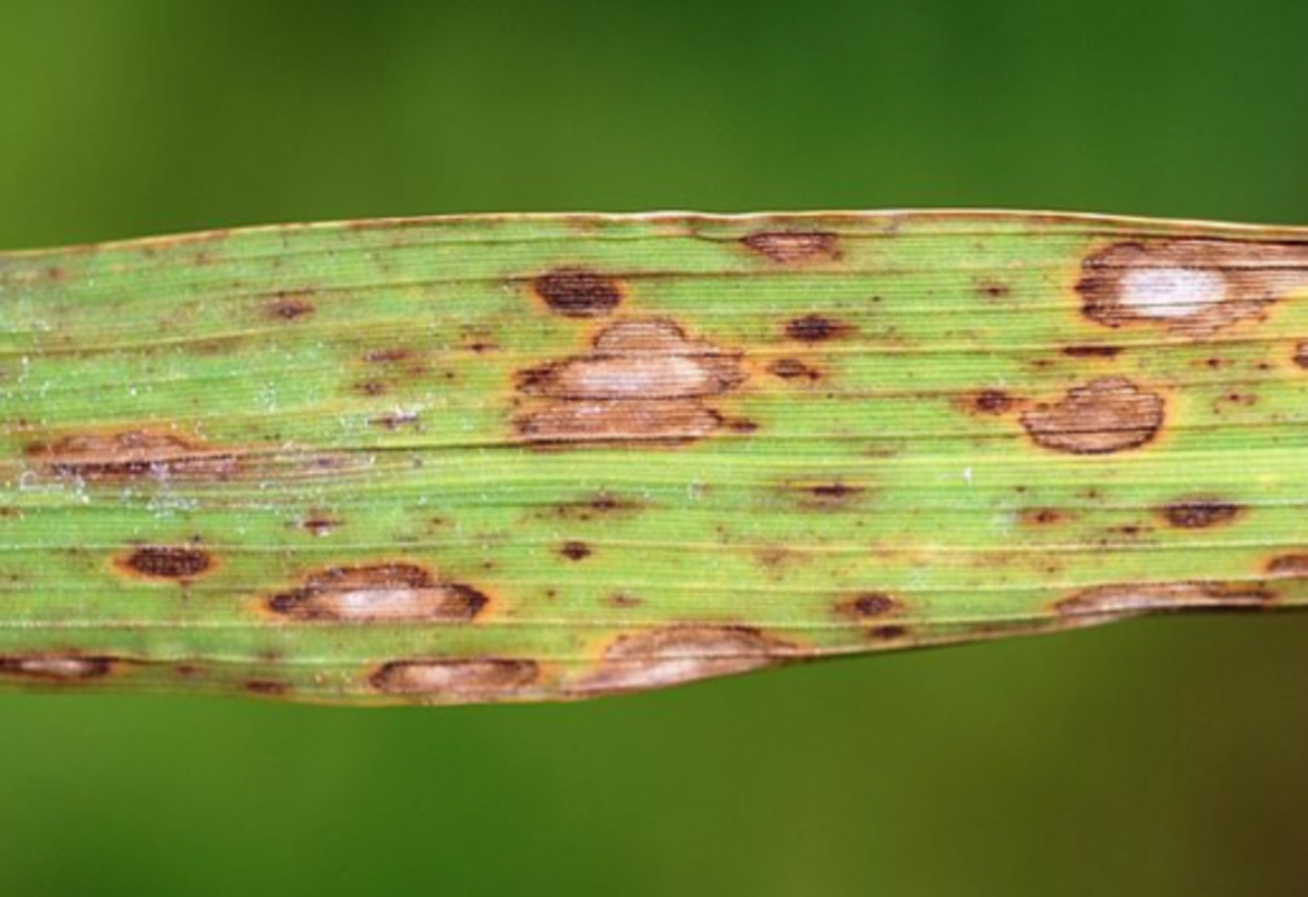 Brown Spot of Rice symptoms on a leaf.  The spores of this fungus land on seed and are also airborne spread.  Weakened plants die or yield less grain.