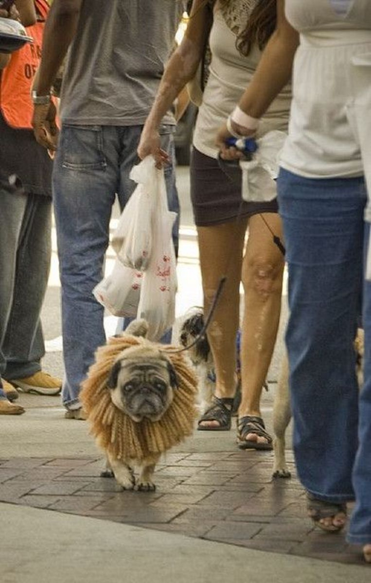 Pug in Lion costume marches in Halloween dog parade - akaporn