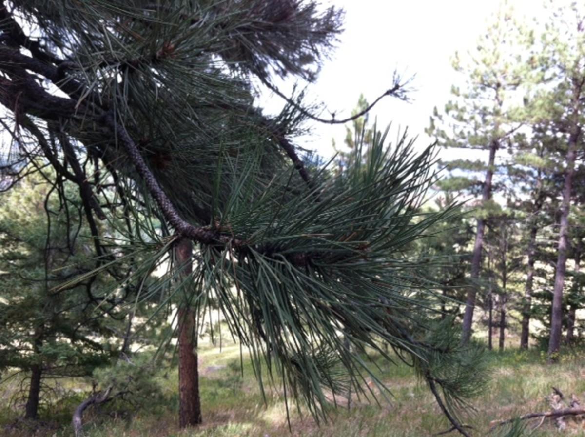Find some pine needles!