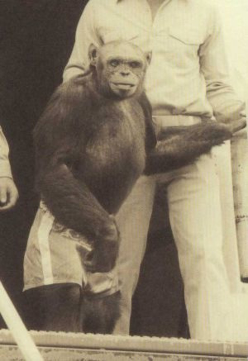 "Oliver the long-suspected ""Humanzee"" turns out to be just a new subspecies of chimp."