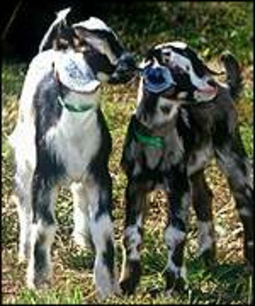 These goats may look like any other goat but when they grow up they'll be used to produce spider silk.