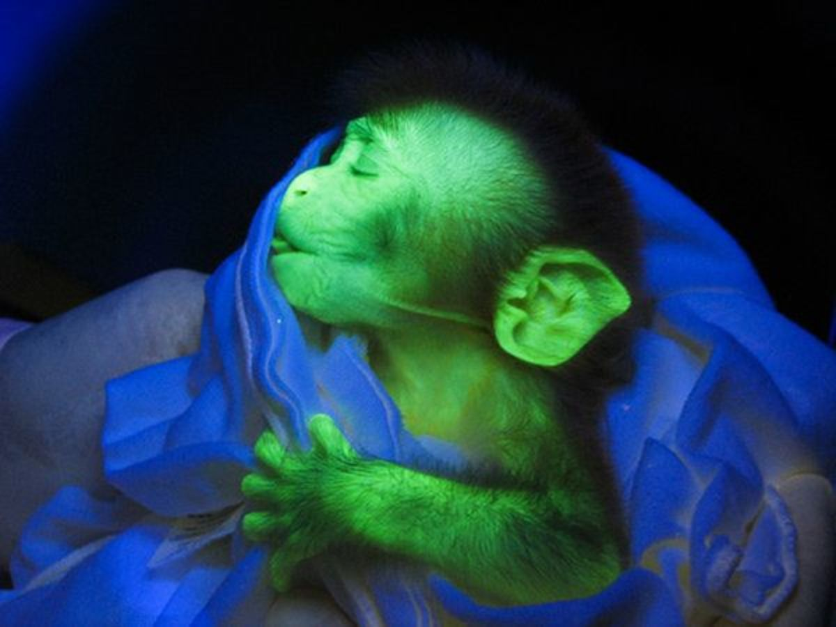 This monkey has the some of the DNA of a jellyfish which makes him glow green.