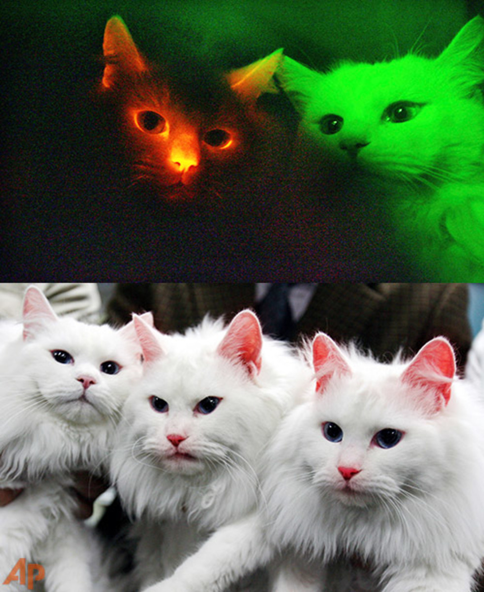 The bottom photo shows glowing cats in normal daylight conditions, the top photo shows what they look like in the dark.