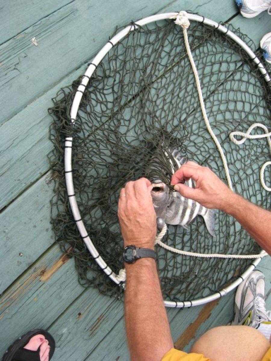 Fiddler Crabs for BaitSaltwater Sheepshead Bait